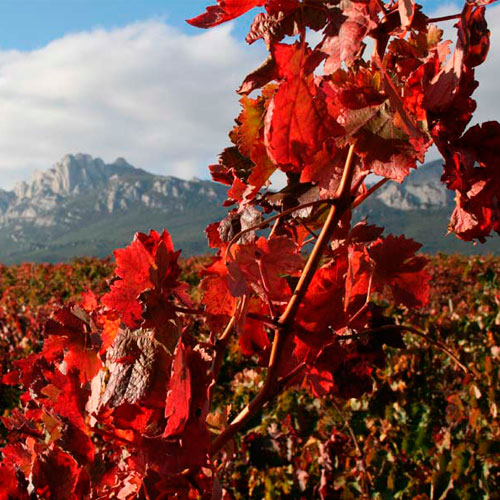 Viñedos en Rioja Alavesa